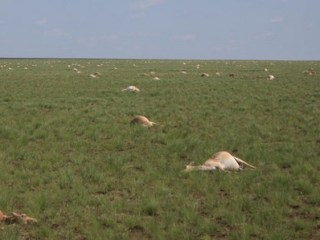 60,000 Antelope Died in Four Days and No One Knows Why