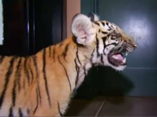 Abandoned Tiger Cub Found Roaming Neighborhood