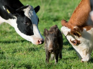 Orphaned Wild Boar Piglet Is Adopted by German Herd of Cows