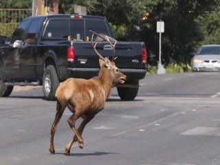 Oh, Deer! That's No Moose on the Loose ... It's a Bull Elk!