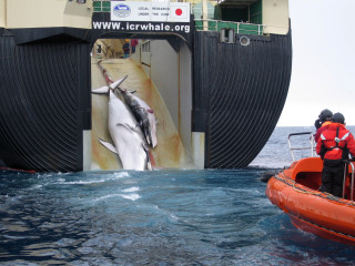Japan's Whaling Fleet Set to Embark on Hunt for 333 Minke Whales