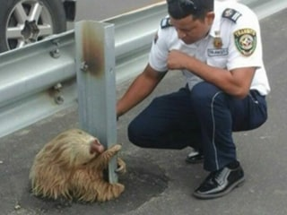 Adorable Sloth Stops Traffic, with Police Stepping in for a Heartwarming Rescue