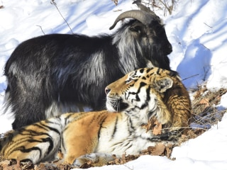 Amur the Siberian Tiger Strikes Back At Bully Goat Timur