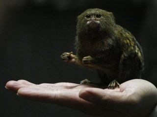 Tuesday in Pictures: World's Smallest Monkey and More