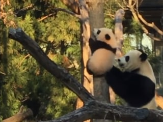 Watch the National Zoo's Cute Panda Cub Climb His First Tree
