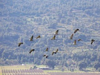 Why Cranes Flock to Israel's Hula Lake Park for Valentine's Day