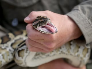Snake Hunters Descend on Florida Everglades for Python-Killing Challenge