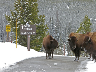 Capture, Slaughter of Yellowstone Bison Roil Big Sky Country