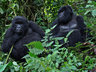 Civil War Is Wiping Out Gorilla Populations: Report