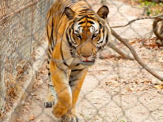 Tigers Declared 'Functionally Extinct' in Cambodia