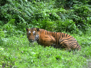 World's Tiger Count Rising for the First Time in More Than a Century