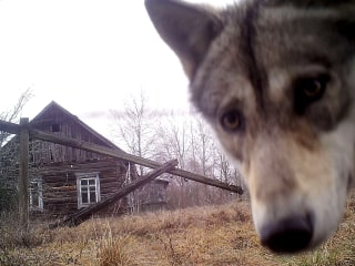 Chernobyl Anniversary: Disaster Exiled Humans, Made Way for Wildlife