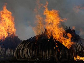 Kenya Torches $150M Worth of Elephant Tusks in Historic Burn