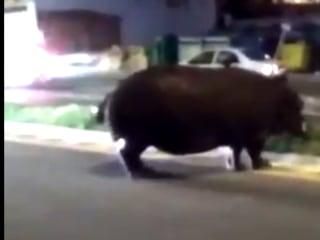 Hippopotamus Escapes Circus in Spain's Palos de la Frontera, Stops Traffic
