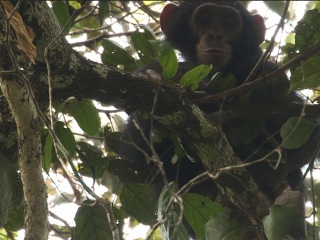 In Search of the Mystery Apes of Bili Forest