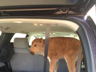 Tourists 'Rescue' Bison Calf From the Cold of Yellowstone