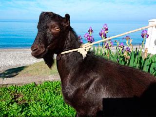 Russians Insult Barack Obama by Naming Black Goat After Him