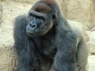 Gorilla Shot Dead at Cincinnati Zoo After Child Climbs in Enclosure