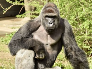 Gorilla Shot Dead at Cincinnati Zoo After Child Climbs in Enclosure