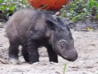 Mud Bath! Watch This Adorable Little Rhino Calf Play in the Mud