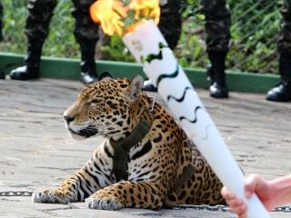 Olympic Jaguar Is Shot Dead During Escape Bid
