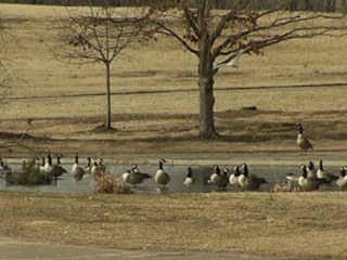 Unwanted Park Geese to Become Meals for Food Bank