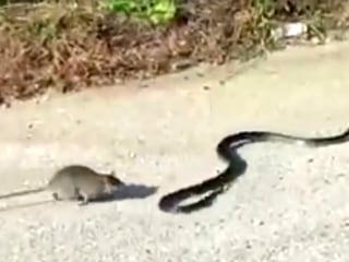Mama Rat Saves Baby From the Jaws of a Snake