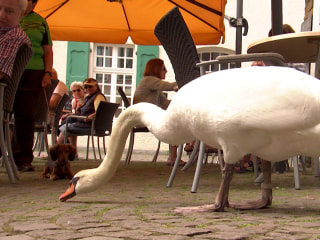 Alfred the Pushy Swan Causes a Stir in Essen Kettwig, Germany