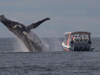 Humpback Makes Spectacular Leap But Whale Watchers Looking Other Way