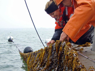 Red Tape Slows Bloom of Seaweed Farming's Green Revolution