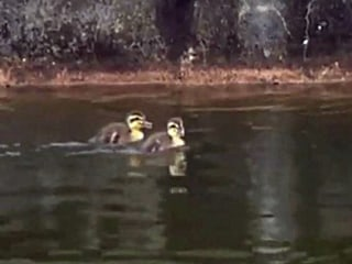 Ducklings Trapped in Pond Get Sweet Rescue