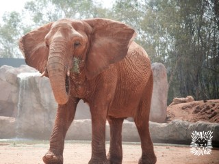 Zoo Elephant Throws Stone Toward Zoo Visitors, Killing Girl