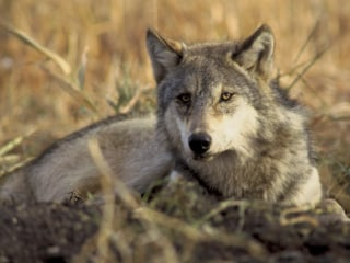 Washington to Kill 11 of State's 90 Endangered Gray Wolves for Preying on Cows