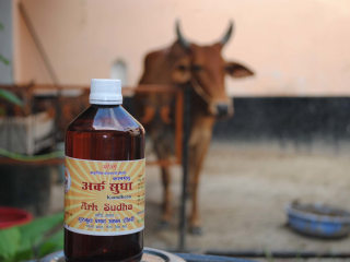 Why Cow Urine Can Be as Valuable as Milk in Bovine-Worshiping India