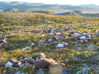 Freak Lightning Strike Kills Hundreds of Reindeer in Norway