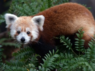 Reduce Election Day Stress With S.F. Zoo's Red Panda Cam