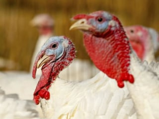 The Heritage Turkey Is Making a Comeback, Delighting Slow Food Fans
