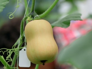 Meet the Scientists Breeding Vegetables for Our Changing Environment