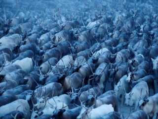 Herding Reindeer a Way of Life in Remote Arctic