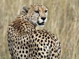 Cheetahs at Risk of Extinction as African Habitat Shrinks, New Study Finds