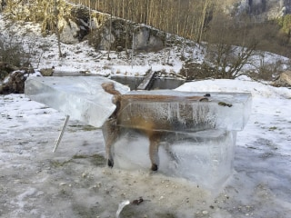 Stay off the Ice Kids! Drowned Fox Frozen in a Block of Ice