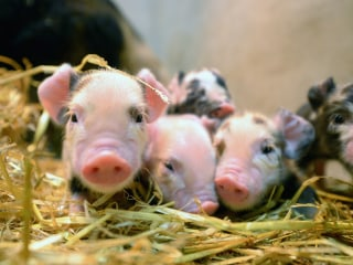 New Technique Produces Partly Human Pig Embryos