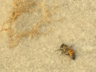 Thousands of Dead Bees Wash Ashore on Florida Beach