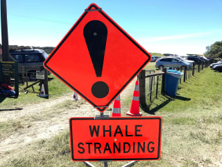 Eight More Whales Stranded in New Zealand Apparently Floated to Safety