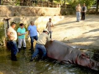 El Salvador Violence: Beloved Hippo 'Gustavito' Killed at Zoo