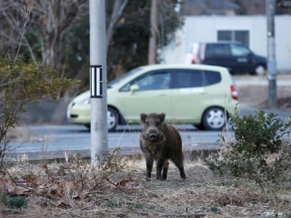 Wild Boars Take Over Towns Near Japan's Fukushima Nuclear Plant