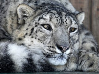 Russian Conservationists Launch Survey of Elusive Snow Leopard