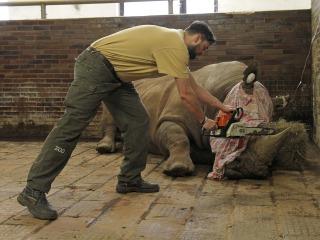 Czech Zoo Saws Horns Off Rhinos to Thwart Poachers