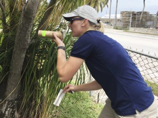 Miami's new mosquitoes carry sterility bug