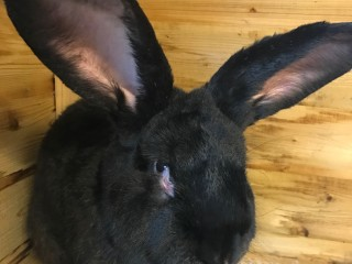 United Airlines Probes Death of 3 foot Rabbit Simon, Set to Be World's Largest